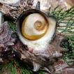 日本海の荒波で育った「活さざえ」特大 3個×約150-200g (浜坂産)(サザエ)