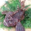 超高級魚!活・おこぜ(オコゼ) 1尾 約700-790g (浜坂産) 活かしてますので、発送直前に〆てお届け致します。
