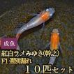 メダカ / 新系統 / 紅白ラメみゆき(幹之)めだか 虹色ラメ F1 選別漏れ 10匹セット 8周年セール