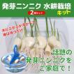 スプラウトにんにく 水耕栽培キット 2個セット 発芽ニンニク 野菜栽培キット