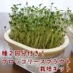 ブロッコリースプラウト栽培キット スプラウト栽培専用容器 種付き
