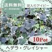 ヘデラ・グレイシャー10Potセット・苗 アイビー (送料無料)