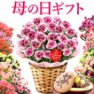 母の日カーネーションプレゼントスイーツフラワーギフト鉢植え早割幸せカーネーション花とスイーツ5号鉢carnation