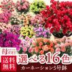 母の日 2017 ギフト プレゼント 真紅カーネーション鉢植え5号 花鉢 早割 早期割引(4月30日まで早割中)