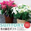 サントリー プリンセチア クリスタルスノー 鉢花鉢 お歳暮ギフト ポインセチア ピンクの葉 純白の葉