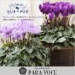 サントリー セレナーディア 青いシクラメン ブルーシクラメン 鉢花 花鉢 鉢植え 紫 アロマブルー ライラックフリル 新品種 珍しい お歳暮 花