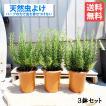 ローズマリー 3鉢セット 立性 鉢植...