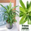 観葉植物 ブロメリア フリーセア オスピナエ 4.5号鉢 Vriesea ospinae