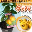 トロピカルフルーツ グアバ 送料無料 10.5cmポット苗