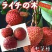ライチ (レイシ) 黒葉種 2年生苗木 ( 送料無料 ) ...