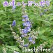 西洋ニンジンボク(チェストツリー) 12cmポット苗