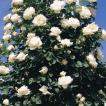 (アウトレット)苗B バラ苗 フラウカールドルシュキ 6号スリット鉢 つるバラ(CL) 四季咲き 白系