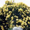 バラ苗 つるゴールドバニー 長尺苗 国産大苗6号ロング鉢 つるバラ(CL) 返り咲き 黄色系(即納)(同梱不可)