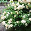 バラ苗 バフビューティー 国産大苗6号スリット鉢 つるバラ(CL) 返り咲き オレンジ系