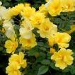 バラ苗 リモンチェッロ 国産新苗植え替え6号スリット鉢 修景用 四季咲き 黄色系