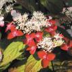 《2019年開花見込み》ヤマアジサイ「紅」 3.5号(10.5cm)ポット植え