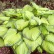 【宿根草】ホスタ(ギボウシ) 「ステンドグラス」 5号(15cm)ポット植え ※仮植え苗