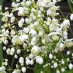 【宿根草】タリクトラム「スプレンダイド・ホワイト」 5号(15cm)ポット植え
