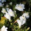 《グランドカバー》サギゴケ ホワイト 10.5cmポット苗