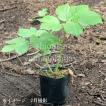 エゾニュウサク 10.5cmポット苗28ポット1ケース 山菜苗