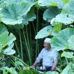 アキタフキ 10.5cmポット仮植え苗 山菜苗