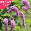 カライトソウ 5株 山野草【春の大感謝祭対象商品】