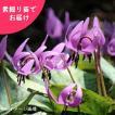 日本カタクリ 2020年開花見込み素掘り苗20球 山野草