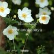 シュウメイギク 白花10.5cmポット苗 ※今季開花終了