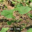 ヤマフキ 10.5cmポット仮植え苗28ポット1ケース 山菜苗