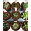 ハオルチア おまかせ5品種セット/2.5号硬質鉢 ツルボラン科 多肉植物 1鉢756円