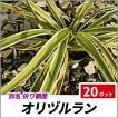 オリヅルラン 20ポットセット 多年草 観葉植物