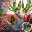パキポディウム象牙宮(Pachypodium Rosulatum Gracil...