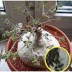 ラフィオナクメ・プロクンベンス(Raphionacme procumbens)の種子