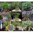 アデニウム・アラビカム種子ミックス(6種混合から抽出)