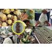 プセウドリトス(シュードリトス)の種子ミックス(Pseudolithos mixed)