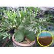 ビカクシダ・リドレイ(Platycerium ridleyi)の胞子(種...