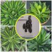 アガベ  ロファンザ(Agave  lophantha)の種子