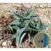 世界最小?のアロエ アロエ・ディスコインシー(Aloe Descoingsii)の種子