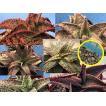 エキゾチックなアロエ・ハイブリッド種子ミックス(Aloe MIX exotic hybrids)