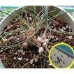 ドリミア・ユニフローラ(リタンサス・プシルス)のフレッシュな種子