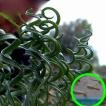 ゲチリス・スピラリス(Gethyllis spiralis)の球根