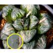 ハオルチア・シルバー・ムチカ(Haworthia 'silver-mutica') 2016シーズンの種子