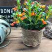 金魚の木 ヒヒポシルサ 可愛い花