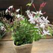 ハゴロモジャスミン 真っ白な花 ガーデニング 観葉植物
