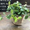 アングラータ ペペロミア ミニサイズ 観葉植物