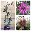 美しい花の咲く耐寒性トケイソウ 3.5号ポット挿木苗 2品種セット(アメジスト&ベロッティー)