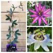 美しい花の咲く耐寒性トケイソウ 3.5号ポット挿木苗 2品種セット(クリアースカイ&アメジスト)