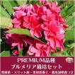 【Premium品種】プルメリア 'Kimi Morgane' ベアルート発根苗の栽培セット(スリット鉢・プルメリア専用培養土・栽培ガイドつき)