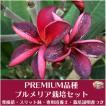 【Premium品種】プルメリア 'Purple Silk' ベアルート発根苗の栽培セット(スリット鉢・プルメリア専用培養土・栽培ガイドつき)