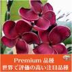 【育てやすい越冬株】プルメリア 'Black Ruby' 苗木(4号スリット鉢)